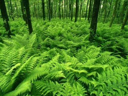 greenfern