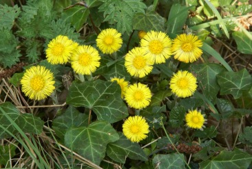 Coltsfoot-flowering