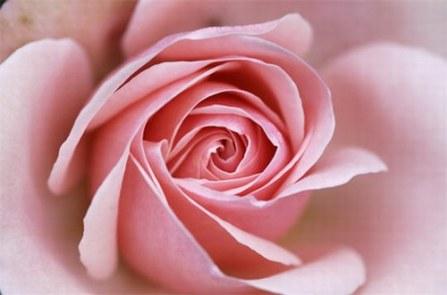 rosepink